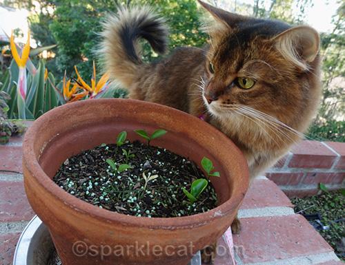 somali cat looks at lemon seedlings