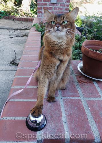 somali cat ringing a desk ball on some brick planters