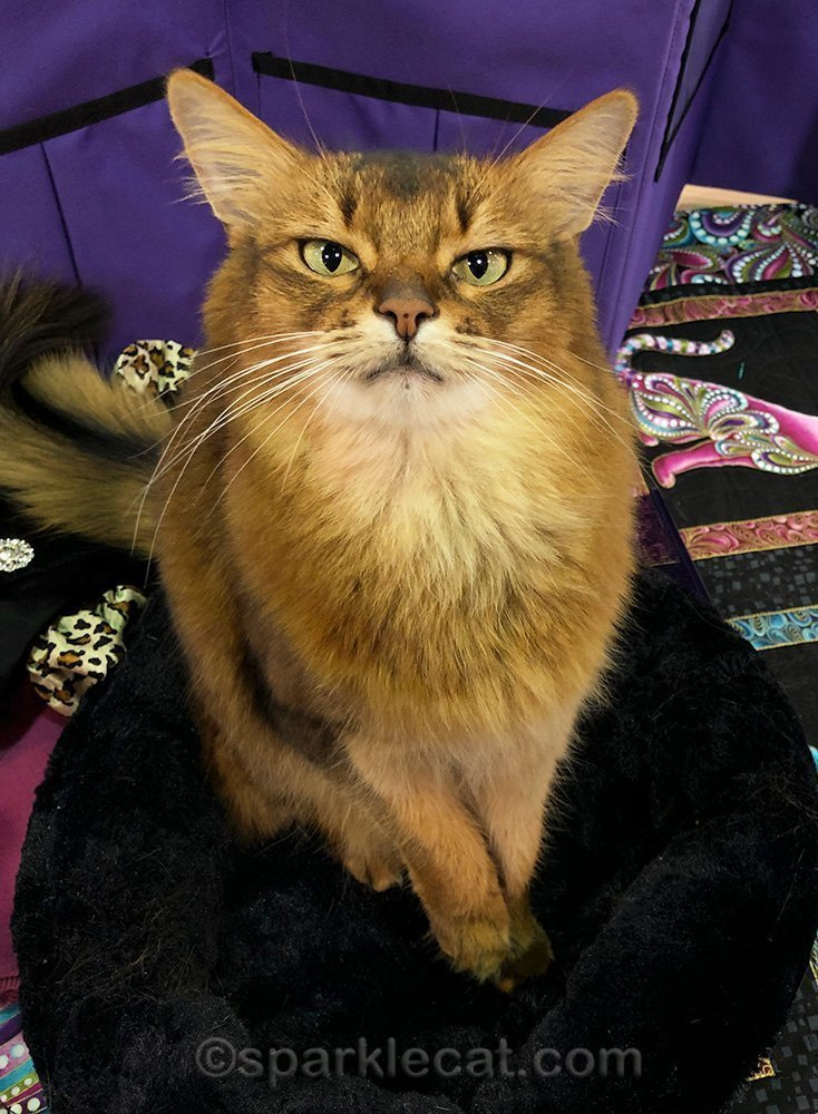 somali cat at cat show, looking slightly peeved