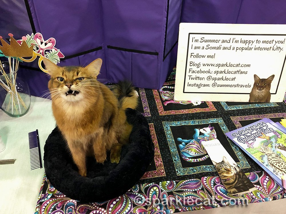 somali cat making hideous face in Pet Me Cat area