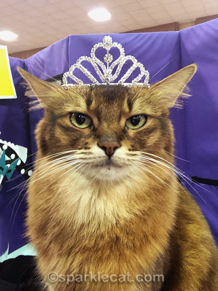 somali cat wearing large tiara for selfie