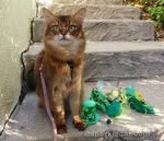 somali cat on steps outside with St. Patrick's photo props