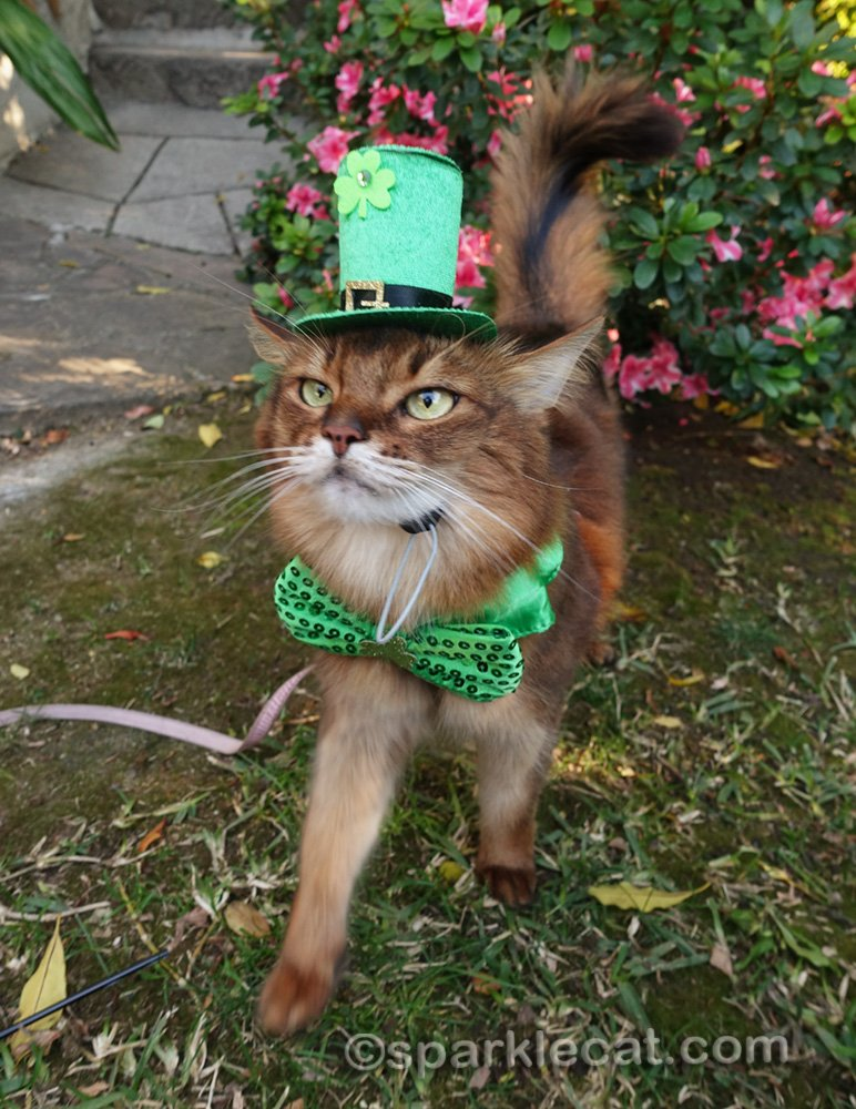 somali cat with St. Patrick's Day hat and bow tie, walking