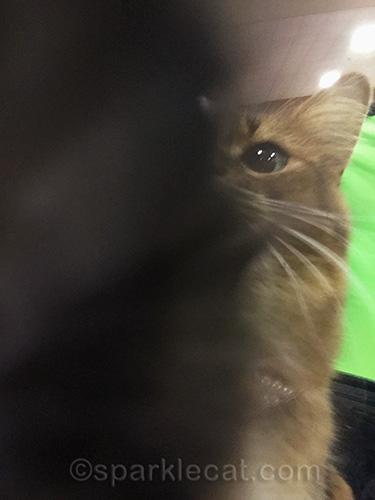 somali cat adjusting iPhone for selfie
