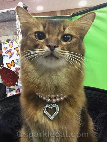 somali cat selfie at cat show