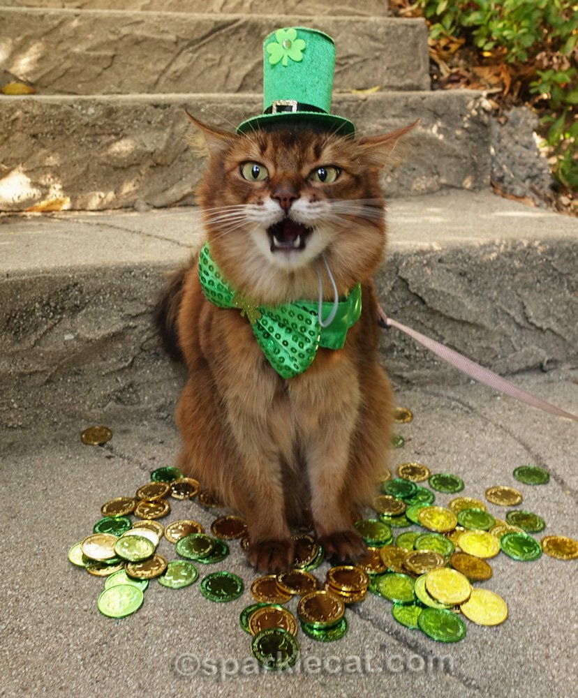 somali cat making funny face in St. Patrick's hat and bow tie