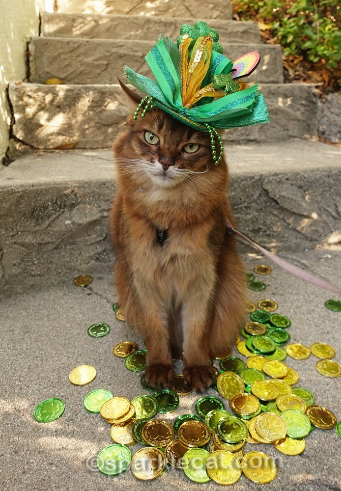 somali cat with too-fancy St. Patrick's Day hat