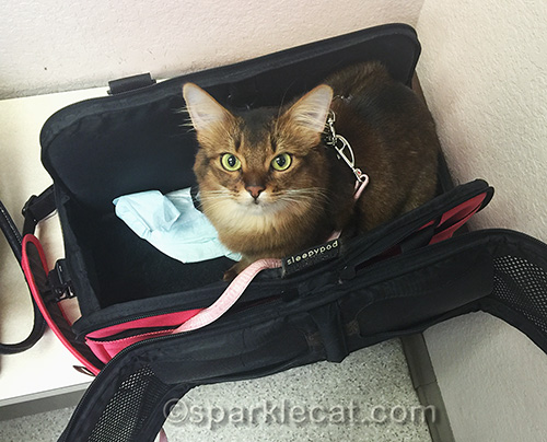 somali cat in carrier at veterinary clinic