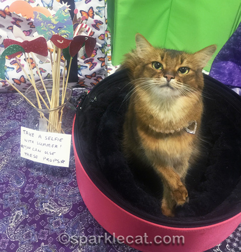 somali cat with selfie props having a fun cat show day