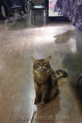 somali cat on leash at cat show