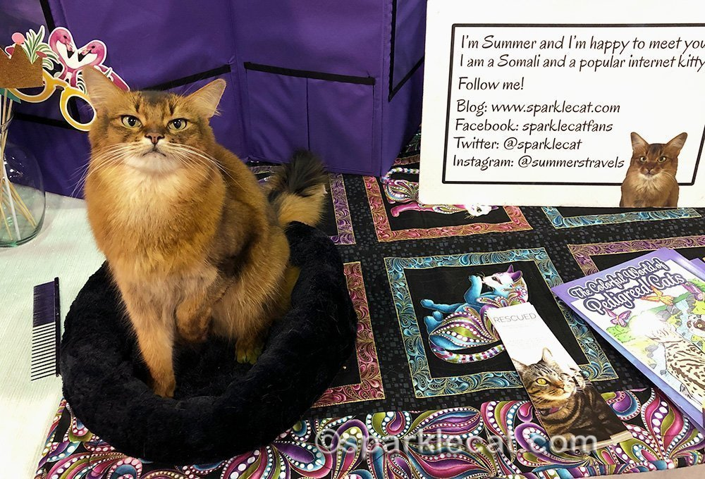 somali cat ready for fun at the cat show