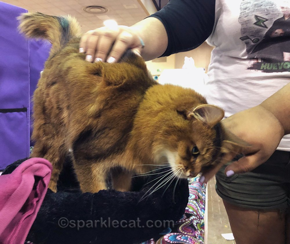somali cat getting petted at cat show