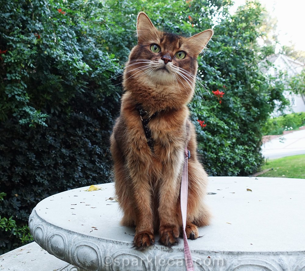 somali cat on concrete table looking at camera