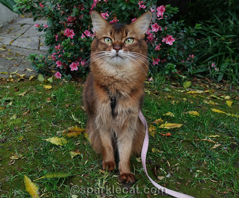 Somali cat in front yard garden