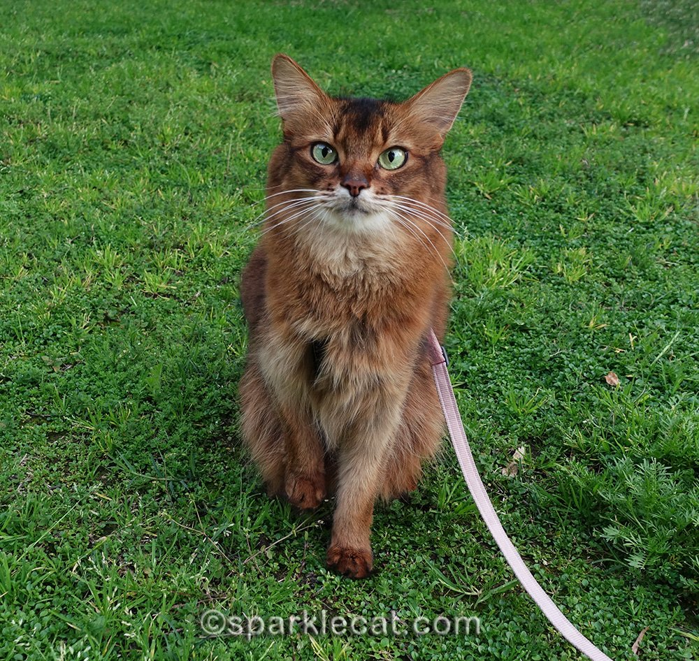 somali cat with a new garden view