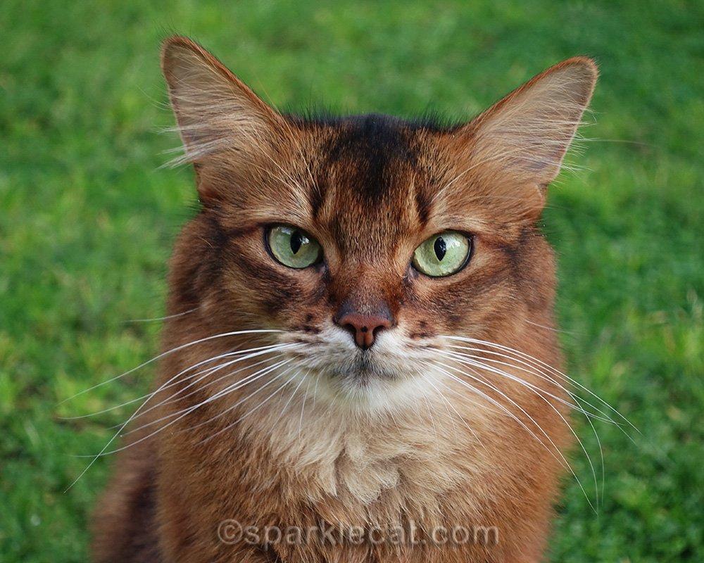 somali cat portrait on grass