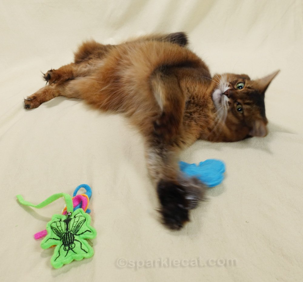 Somali cat continuing to play with cat toys
