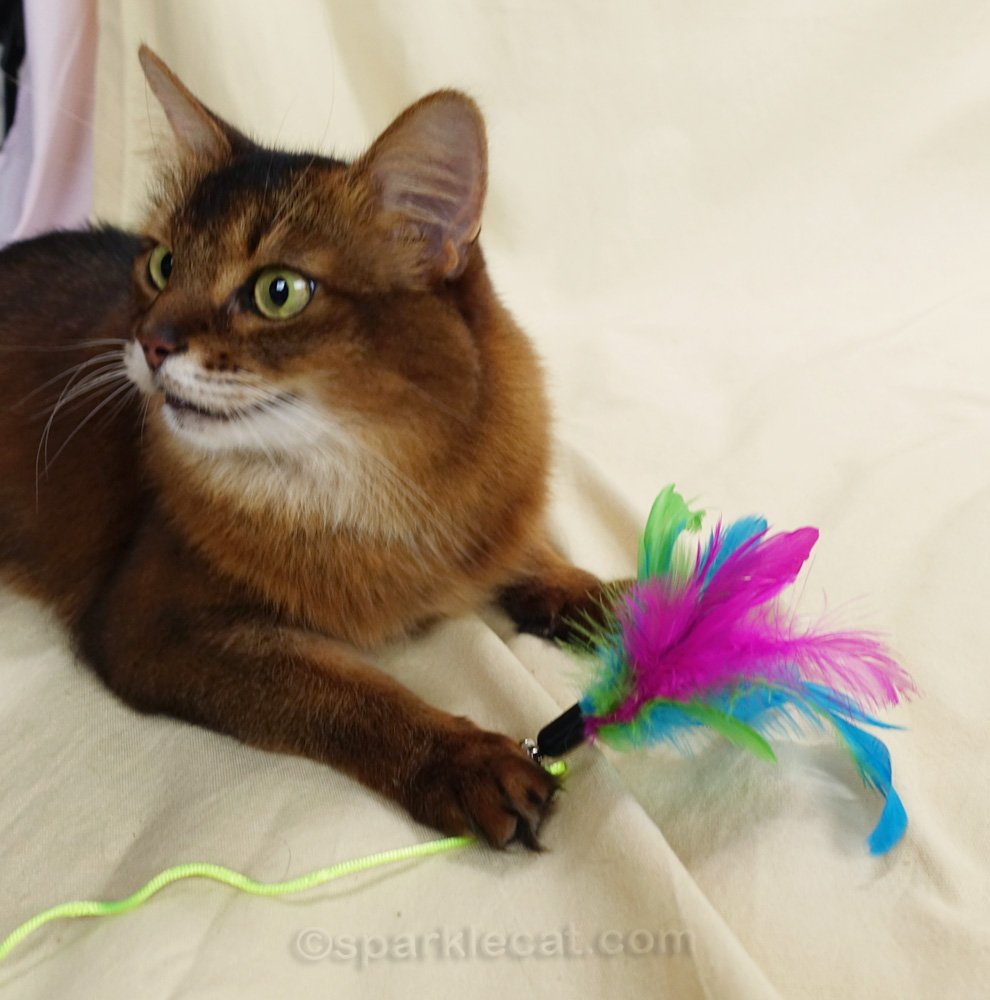 Somali cat playing with feather wand toy