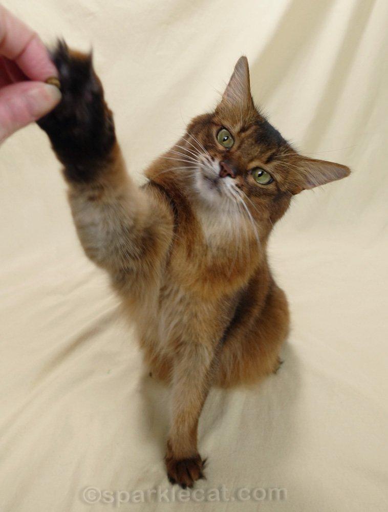 Somali cat reaching for food