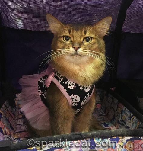 somali cat in her favorite dress