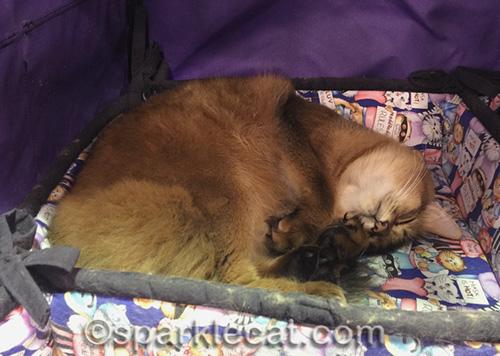 somali cat napping in enclosure at cat show