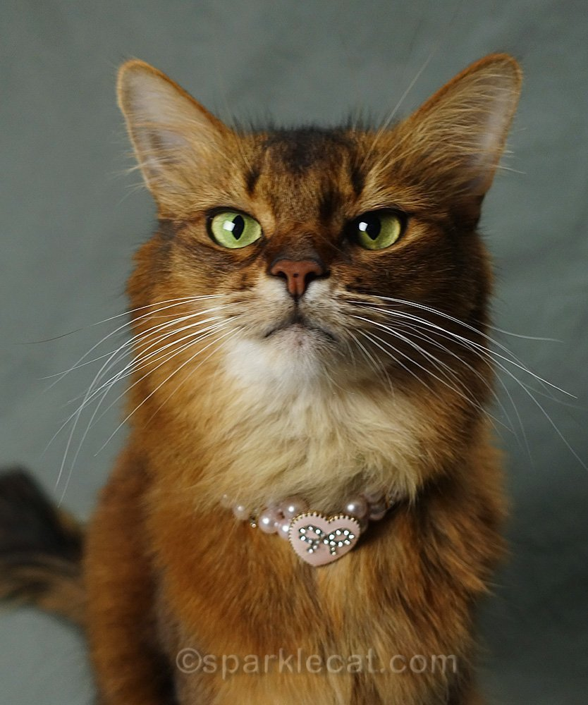 somali cat wearing pink pearl necklace with pink heart