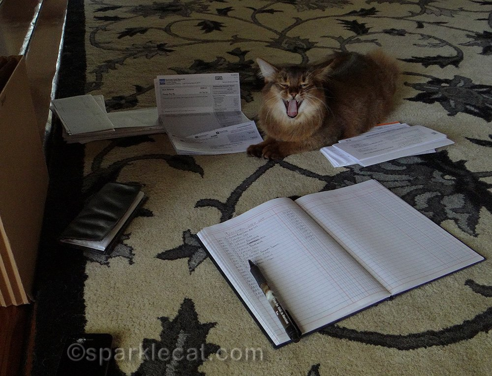 somali kitten bored helping her human with taxes