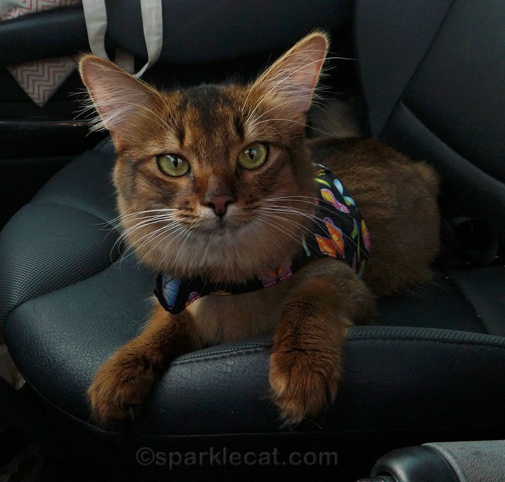 somali kitten in vest harness in car