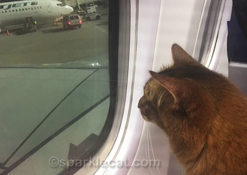 Somali cat looking out airplane window after plane lands