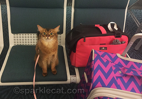 somali cat with luggage at baggage claim
