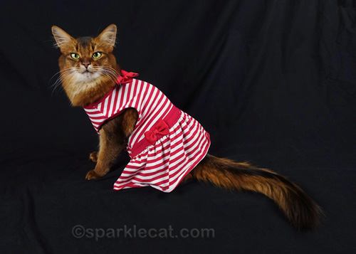 somali cat trying on too-big dress