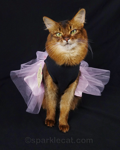 somali cat in dress with tulle skirt and price tag - it's Minnie Pearl dress-up time