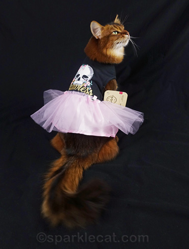 somali cat showing off back of dress