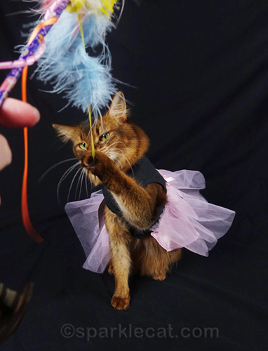 somali cat in dress, playing with cat toy