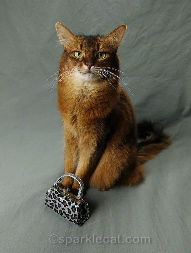 somali cat posing with a bag
