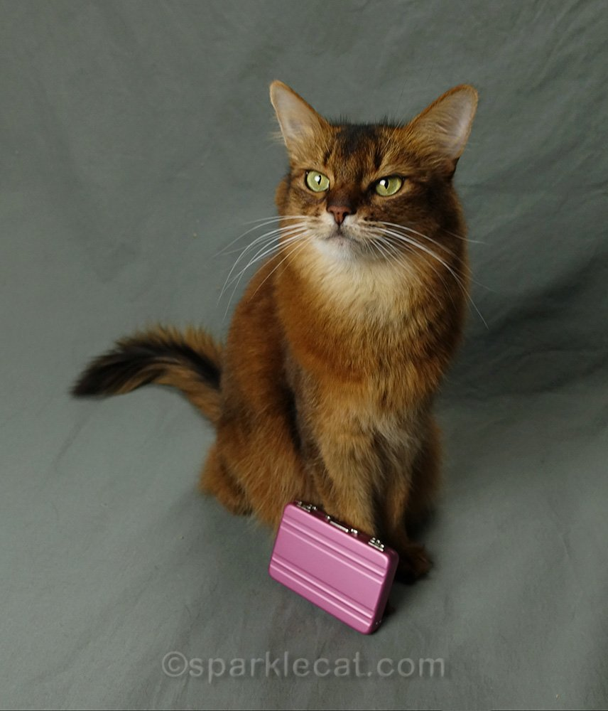 somali cat with tiny pink briefcase