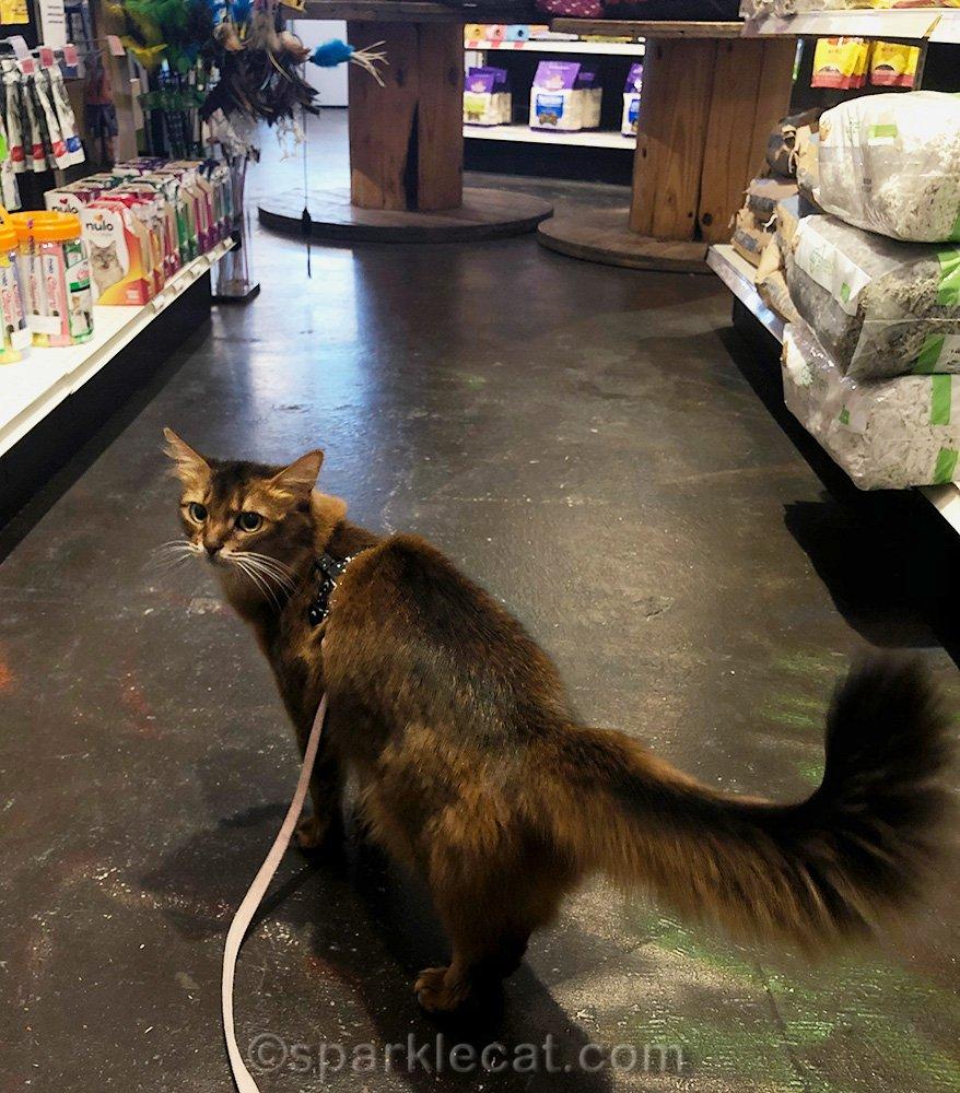 somali cat on leash at pet store