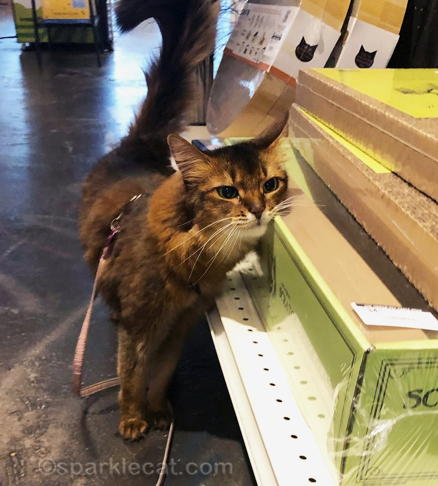 somali cat rubbing on scratcher in store