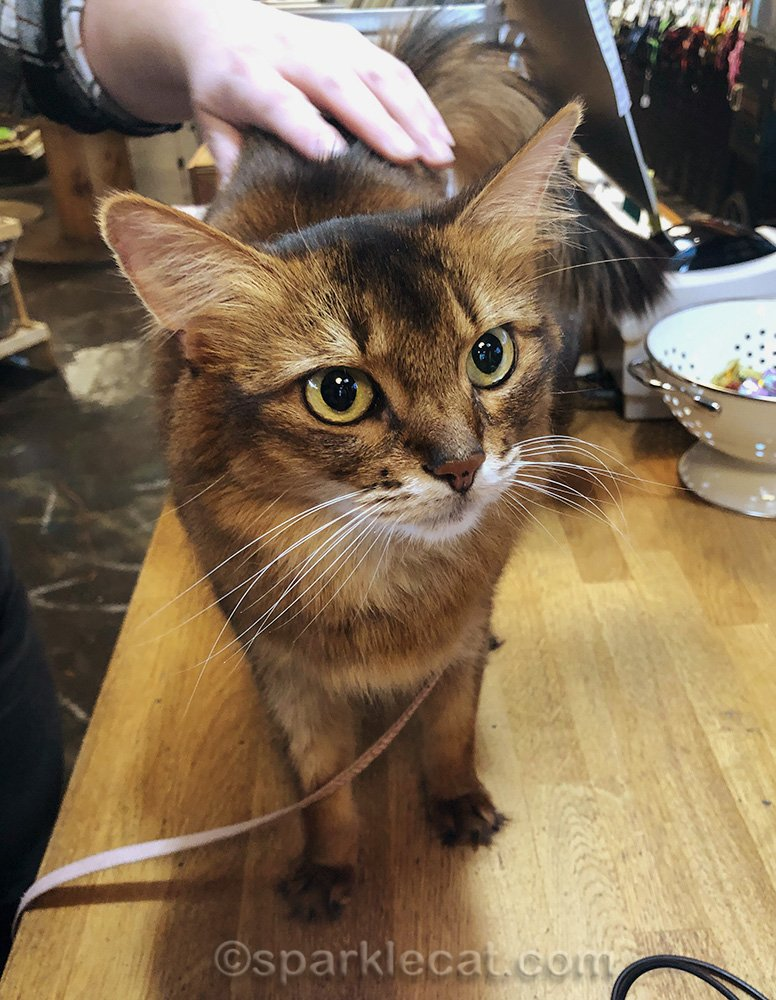 somali cat getting petted at check out