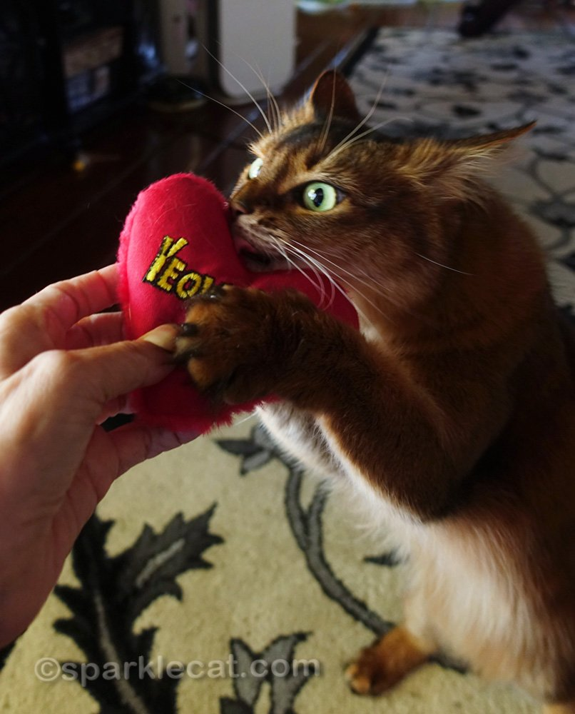 somali cat going crazy over catnip heart