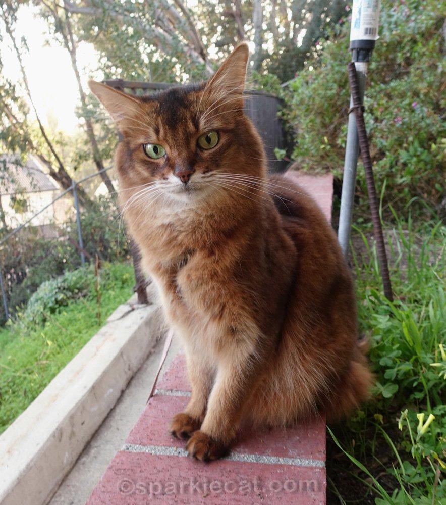 Somali cat sitting on brick ledge