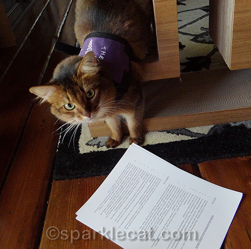 somali therapy cat in training looks over paperwork