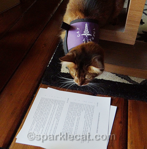 somali therapy cat in training looks over her tests