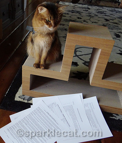 somali therapy cat in training looks over everything that needs to be done.