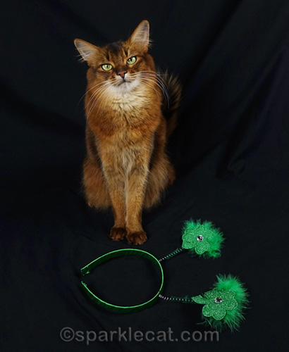 somali cat is getting ready for st. patricks day