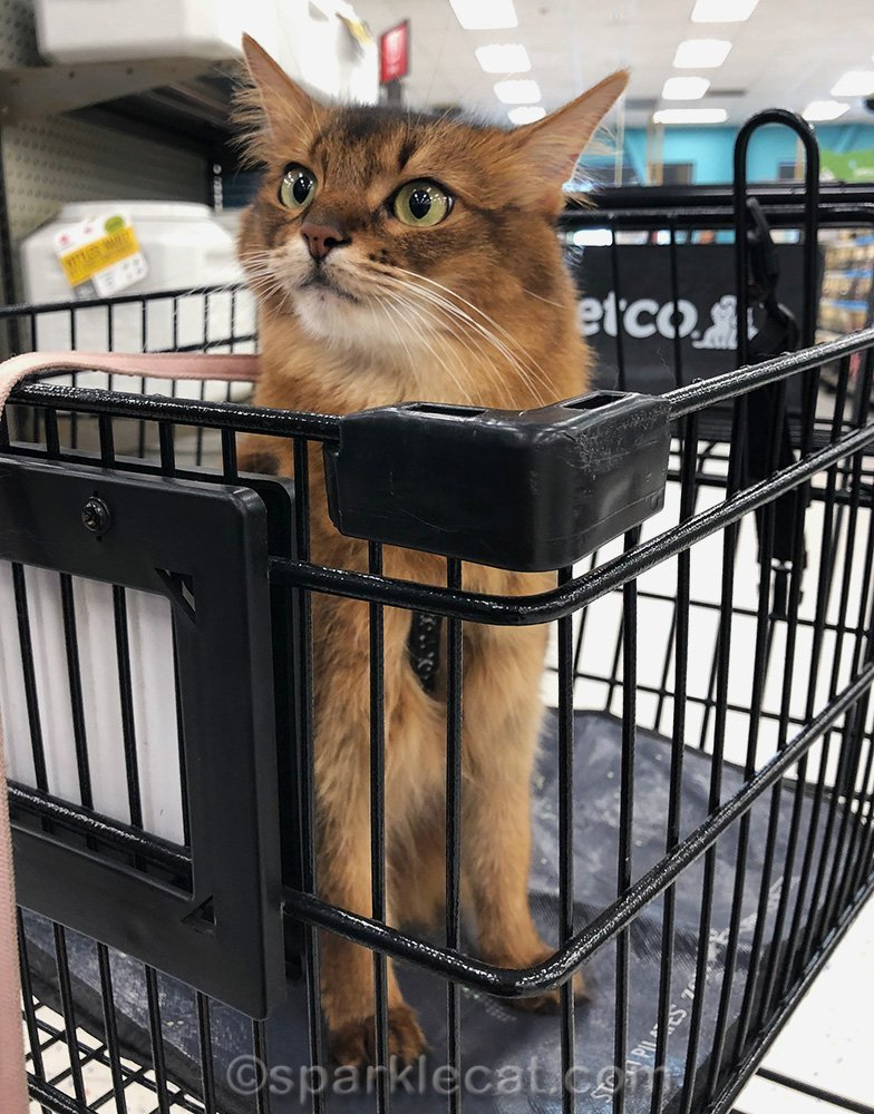 somali cat sitting in Petco shopping cart