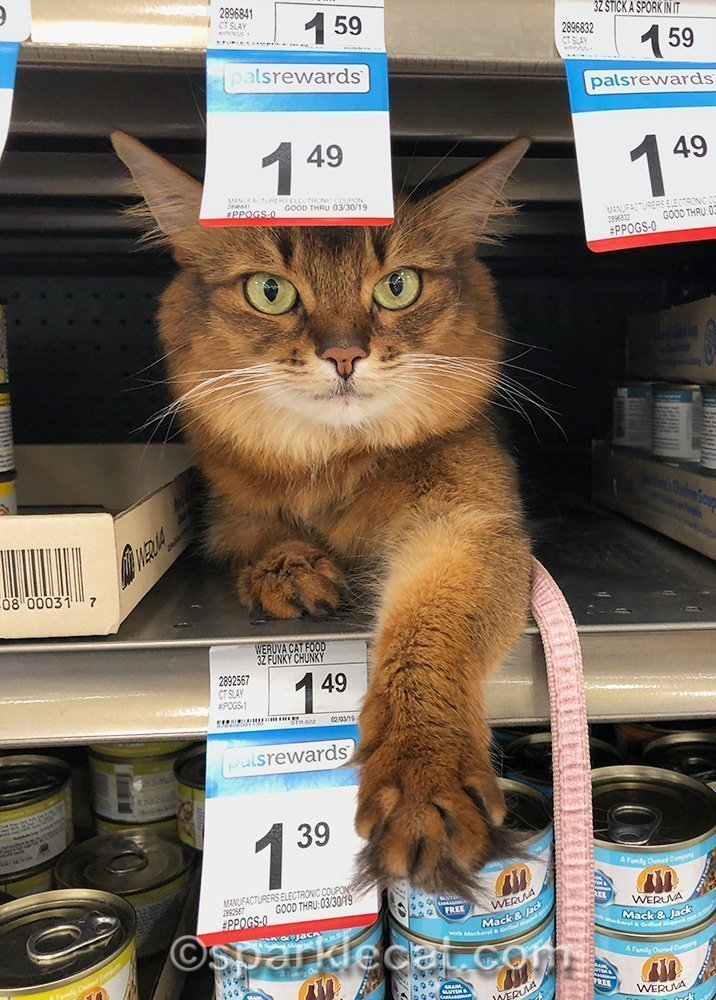 somali cat on cat food shelf at pet store