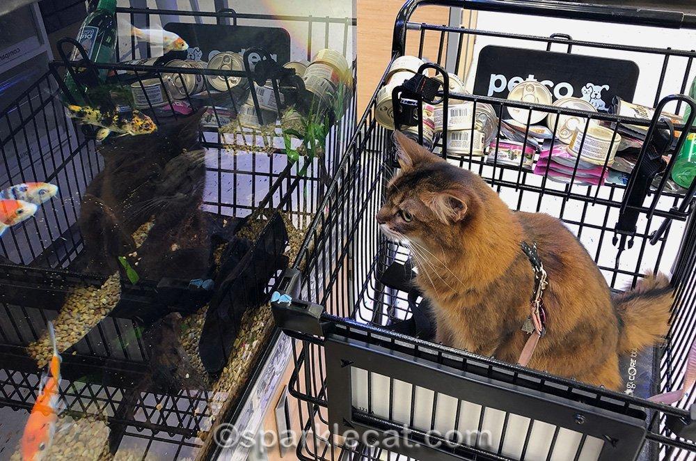 somali cat checking out koi fish at pet store