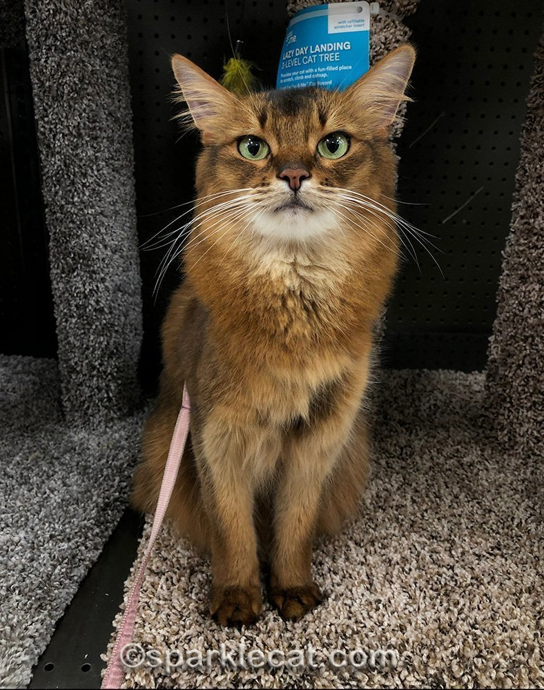 somali cat sitting at base of cat tree at pet store