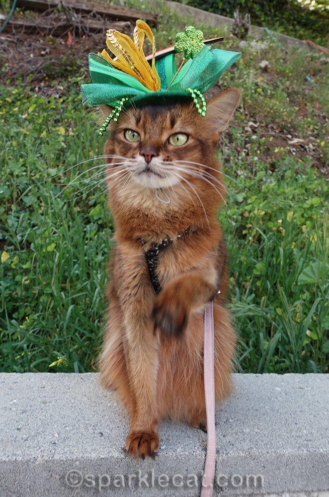 somali cat with St. Patrick's hat falling apart